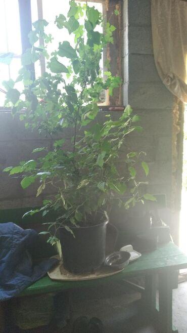 Комнатные растения в Кок-Ой: Дерево цветок очень редкий цветок по всем вопросам писать в Вацап