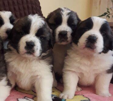 ролики детские размер 29 32 в Кыргызстан: Готовятся к продаже щенки сенбернара,родились 29 10 20