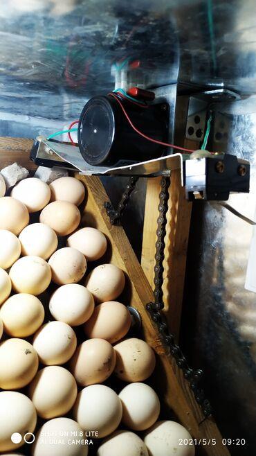 С/х животные - Кыргызстан: Инкубатор полный автомат, принимаю заказы от 300 до 1500 яиц и т.д