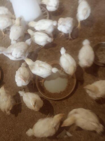 Продаю цыплят бролеровНаходится в ЛебединовкеВозраст где то 18-20 дней