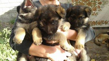 Продаются щенки немецкой овчарки 1 мальчик и 3 девочки, очень игривые  в Бишкек