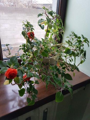 Постоянно цветущий декабрист в красивом керамическом горшочке в Лебединовка