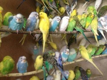 Продаются волнистые попугаи всех цветов огромный выбор волнистых попуг