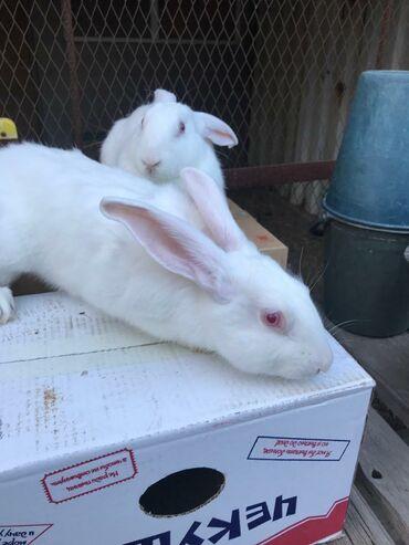 Продаю кролов новой породы Hyplus возраст 3 месяца. Все вопросы по