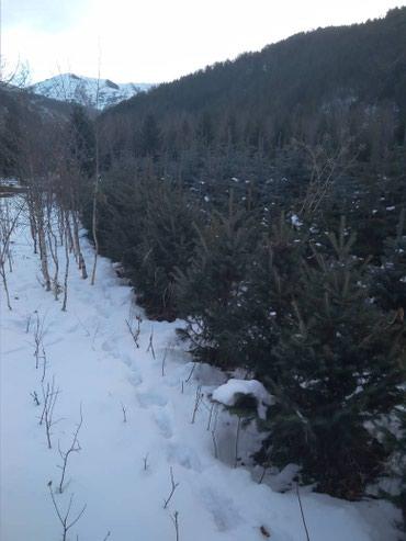 Красивые изящные елки на выбор высота в Токмак