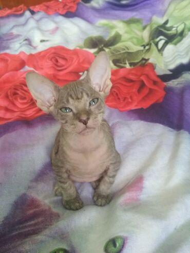 Донской сфинкс!!!продам котенка мальчик очень красивый, игривый