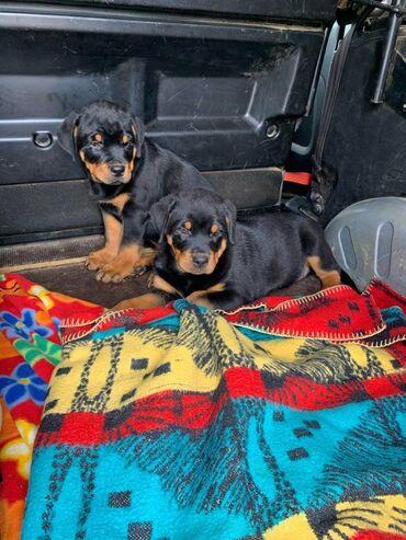 Κουτάβια Rottweiler, έτοιμα να φύγουν τώρα, μόνο 2 αγόρια διαθέσιμα