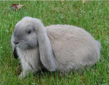 Декоративные кролики - Кыргызстан: Самец 4 месяца Французкий баран вислоухий кролик