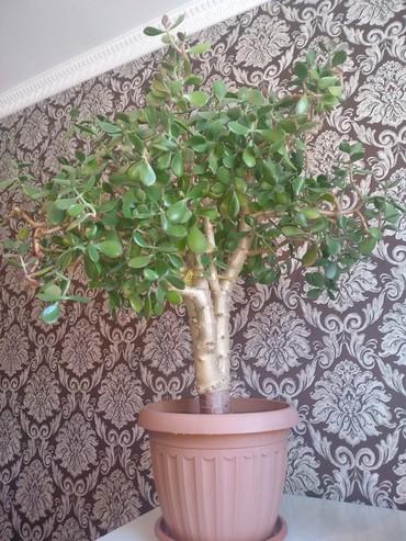 Комнатные растения в Кок-Ой: Денежное дерево