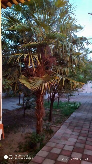 Otaq bitkiləri Göyçayda: Palma