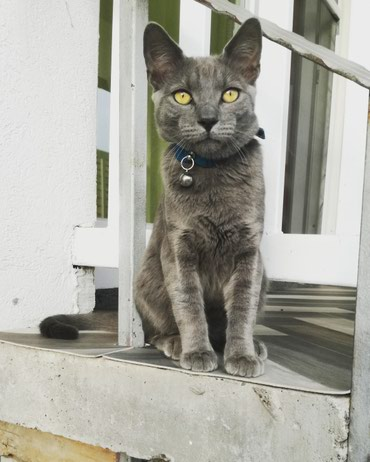 Ruski plavi mačići/ruska plava mačka  - Sid