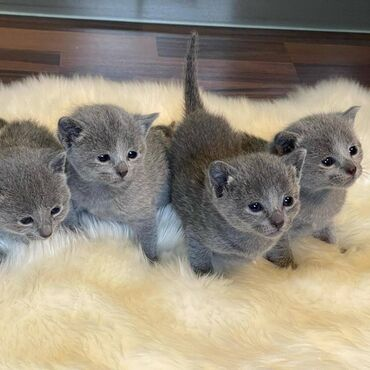 Prekrasni britanski ruski plavi mačići dostupni za prodajuPrekrasni