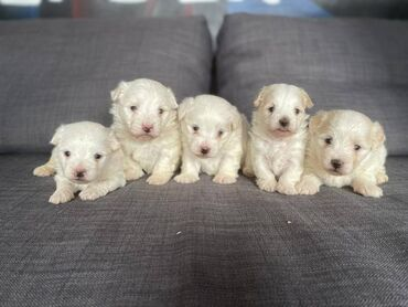 Beautiful Maltipoo PupsOur puppies will go home with their first set