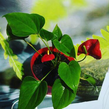 Комнатные растения - Беловодское: Антуриум. Сейчас цветочков больше фото вышлю