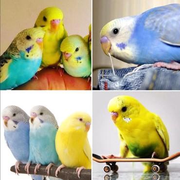 Волнистые попугайчики оазных цветов
