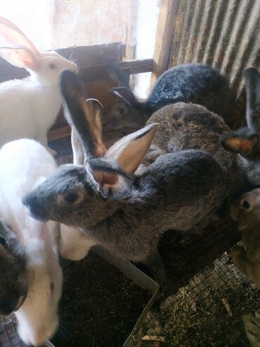 802 объявлений   ЖИВОТНЫЕ: Продаю   Крольчиха (самка), Кролик самец