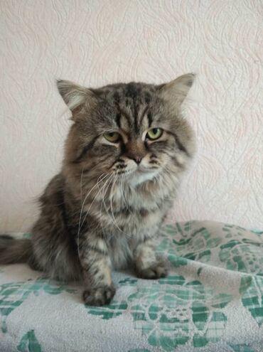 Коты - Кыргызстан: В связи с переездом пристраеваем кота породы шотландский хайленд