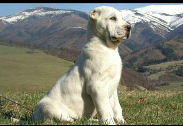 продажа щенков алабая в Кыргызстан: (ГРУППА)Здравствуйте,есть группа заводчиков алабая,новичков,кто хочет