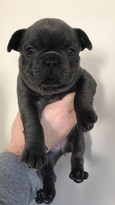 Υγιή κουτάβια French Bulldog για υιοθέτηση μικροτσίπ, ελεγμένο