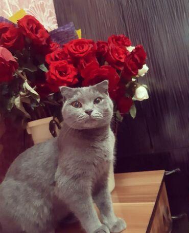 хайленд страйт в Кыргызстан: СРОЧНО !!!Шотландская фолд кошка по имени Бони ищет жениха Страйт!