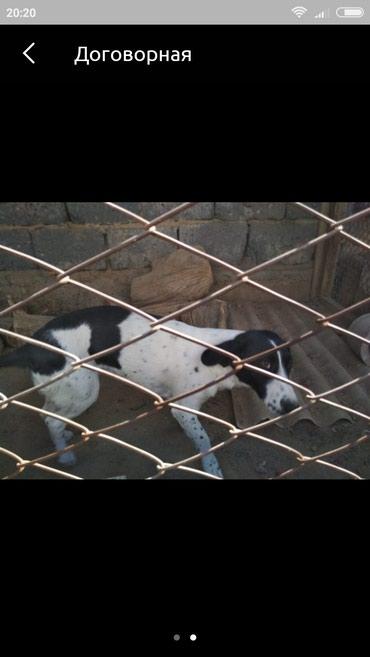 Русский спаниель собаке год сучка в Токмак