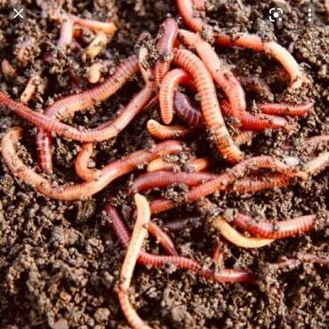 72 объявлений: Продаю калифорнийский червей!