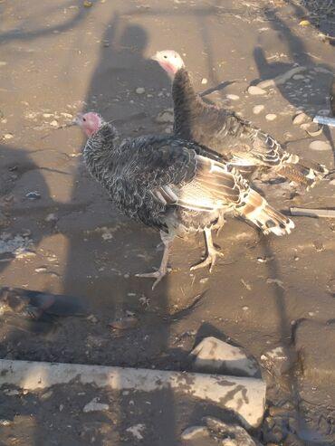 Животные - Гусар: Птицы