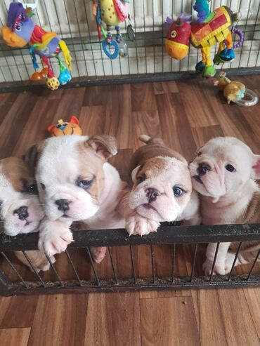 Engleski buldog - Srbija: Na prodaju se psi i štenad engleskog buldogaImamo lijepo štene