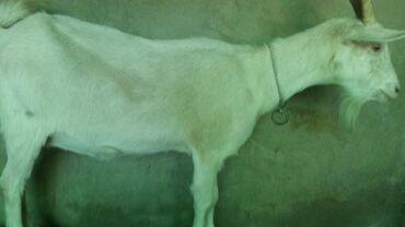 Продаю | Коза (самка) | Зааненская | Для молока | Котные