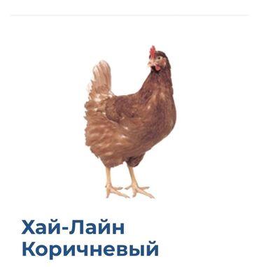 курица гриль доставка бишкек in Кыргызстан   КУРЫ, ПЕТУХИ: Продаю   Куры   Хай-Лайн Соня Грей   Несушки