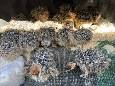 Животные - Чолпон-Ата: Продаются Африканские страусята от 2 недель до месячных!Кому интересно