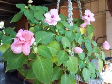 цветы комнатные молочай в Кыргызстан: Бальзамин. Нежно розовый цвет