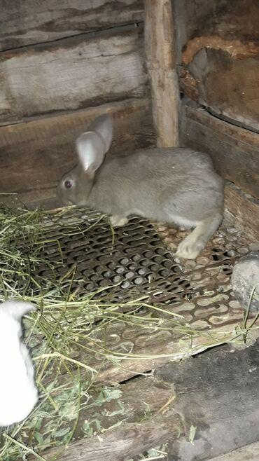 Грызуны - Беловодское: Продаю кроликов разных возрастов и пород мясом и живым весом