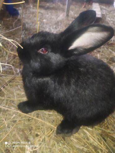 Ayı kostyumu - Azərbaycan: Salam . Kaliforniya və yerli sort dovşanlardı . Dovşanlar 4 ay yarımlı