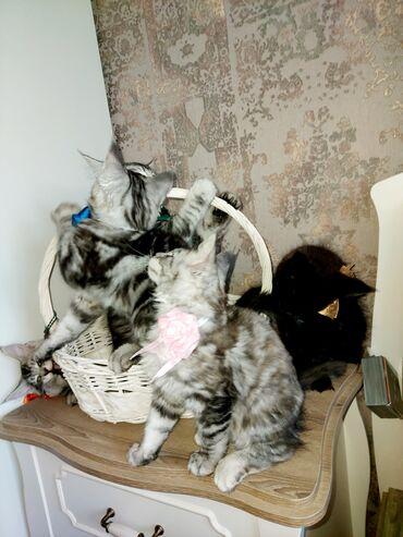 pisik-satisi - Azərbaycan: Любители больших кошек. Если хотите что бы у вас дома бегала маленькая