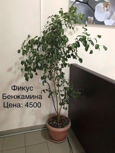 iphone 7 plus цена бу в Кыргызстан: Продаю комнатные растения, ухоженные, отлично украсят Ваш интерьер дом