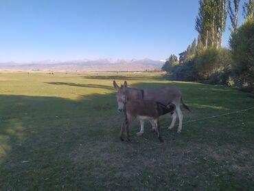 детские шапки с помпонами из натурального меха в Кыргызстан: Другие с/х животные