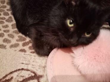ТОКМОК отдаём в хорошие руки котёнка чёрного цвета, мальчик 3 месяца
