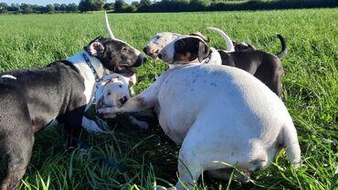 Κουτάβια Bull TerrierΗ COSMIC SOUL παρουσιάζει με υπερηφάνεια την