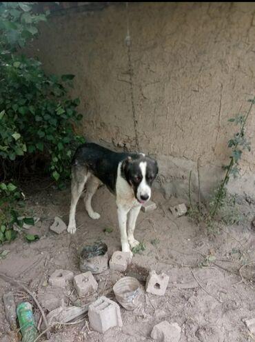 Животные - Тынчтык: Продаю не дорого в связи с переездом собаку очень умный порода алабай
