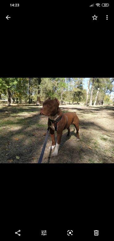 Американский питбуль red nose  - кабель ( 23.12.2020)  - щенячая карта