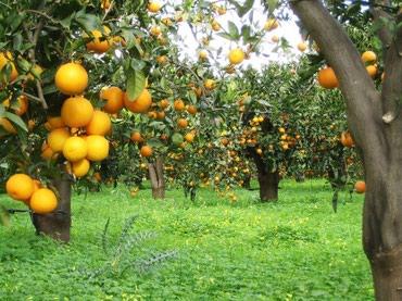 Апельсиновые сады в Анталии 1га в Чон-Сары-Ой