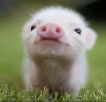 куплю детский манеж в Кыргызстан: Куплю свиней