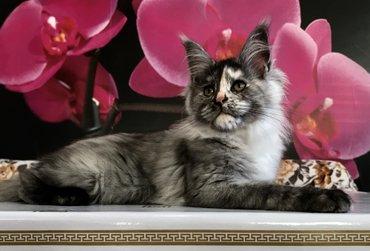 Продаются котята породы Мэйн Кун. Питомник artimax elbarko. Полный пак в Лебединовка