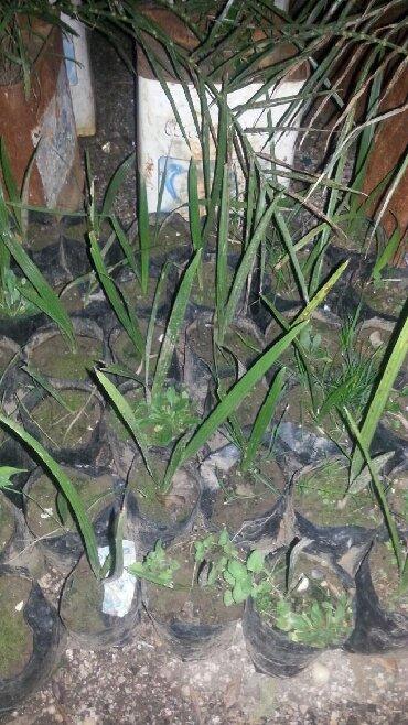 Finik agacinin balacalari satilir 50 eded qalib