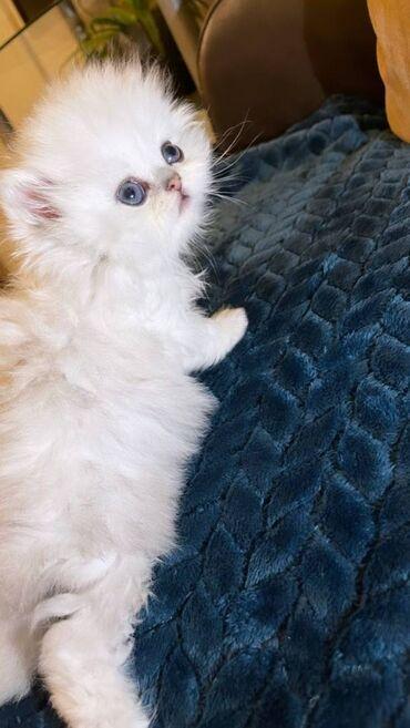 Όμορφο γενεαλογικό περσικό γατάκιΚαταπληκτική εγγραφή Gccf
