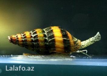 Bakı şəhərində Akvarium ilbizi Helena. Olcusu 1-2 sm. Akvariumda parazit ilbizleri ve
