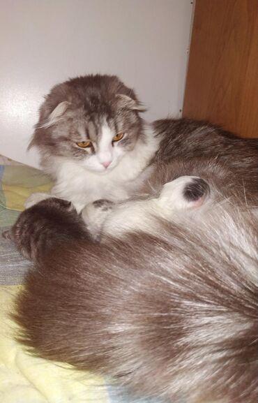 Продаются шотландские котята.Родились 20.04.20. Кушают сами,лоток
