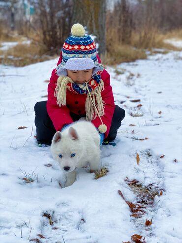 Продаю Щенка Сибирский Хаски  Крупный голубоглазыйбелоснежный мальчи
