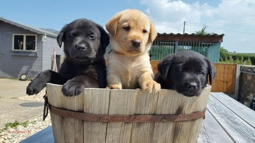 Labrador Puppies σε Ileia